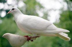 Dove Name in Hindi