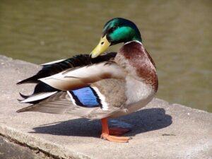 duck in hindi