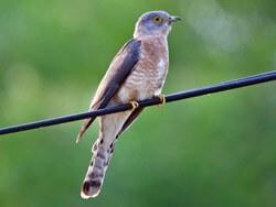 bird Hawk-Cuckoo