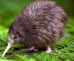 Kiwi Bird Name