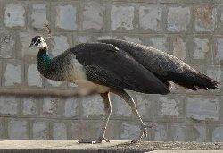 Peahen Bird