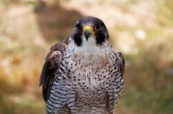Peregrine Falcon name