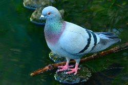 Pigeon Name in Hindi