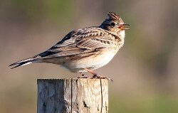 SkylarkBird Name