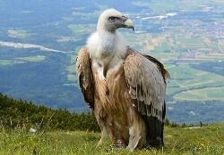 Vulture birds