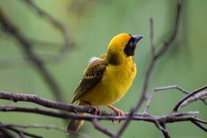 Weaver-bird Name in Hindi